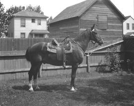 Corporal Collett's horse with saddle, Wetaskiwin Alberta