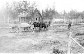 Bull team & wagon with kids on it, Edson, Alberta.
