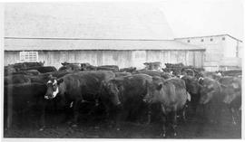 Mixed Aberdeen Angus cattle at Moon ranch (1934).