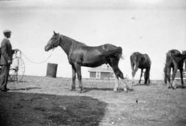 Working Horses, MacDonald Family, Southeast Hill, Medicine Hat
