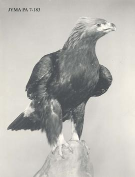 Mounted golden eagle hunting trophy.