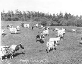 Ayrshire cattle at Lonespruce farm