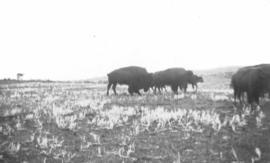 Buffalo herd near Wainwright