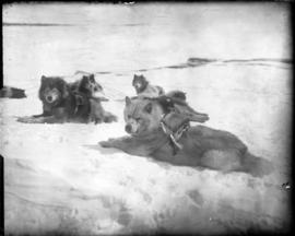 Sled Dogs Resting