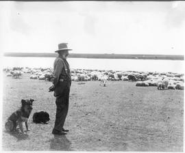 Canada. Western Canada. Old shepherd watching flock of sheep / CN120
