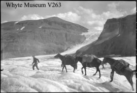 Athabasca Glacier, pack train. Icefield trip