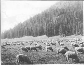 Canada. Sheep grazing / 24419