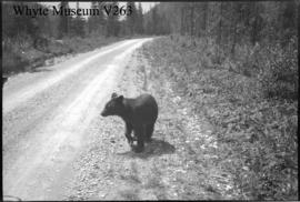 Bear on hwy : [bear on highway]