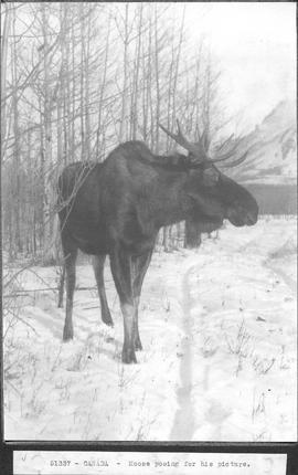 Canada. Moose posing for his picture / 51337