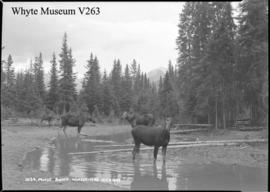 1034. Moose, Banff-Windermere Highway