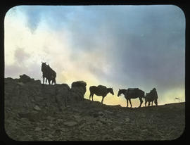 [Packtrain silhouetted on ridge at dusk]