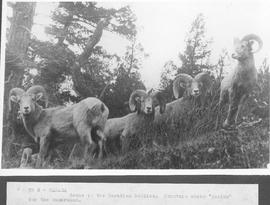 "Canada. Scene in the Canadian Rockies. Mountain sheep ""posing"" for the cameraman / CN5"