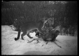 Mounted specimen of cougar attacking deer from Luxton's