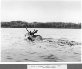 Canada. Northern Quebec Prov. Swimming moose / CN33