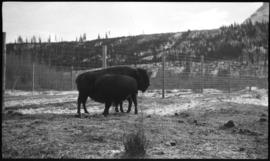 Banff Animal Paddock, buffalo